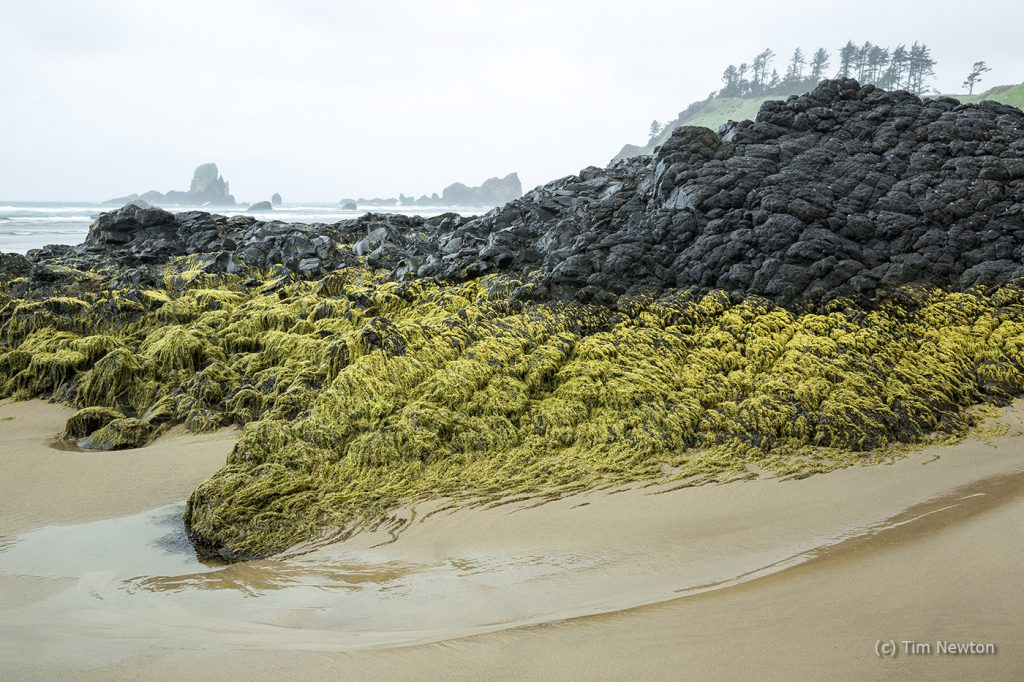 Ecola Rocks with Seaweed