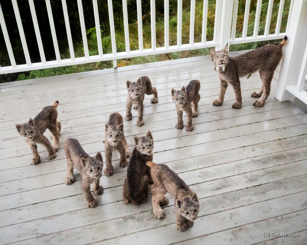 Lynx Family Portrait
