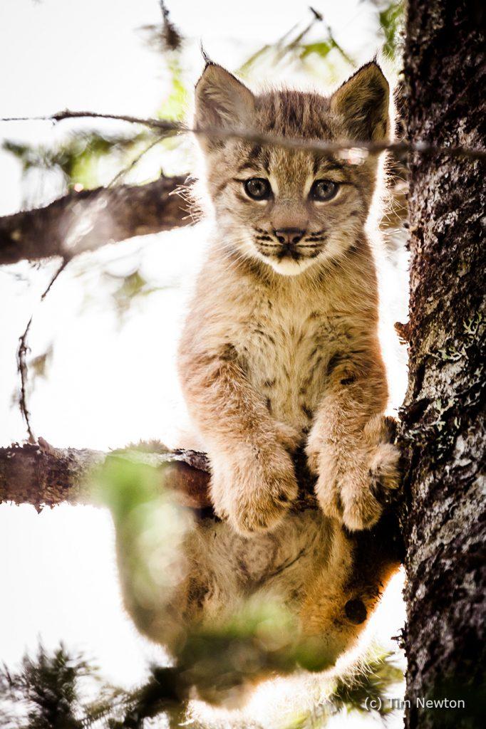Lynx Kitten in Tree