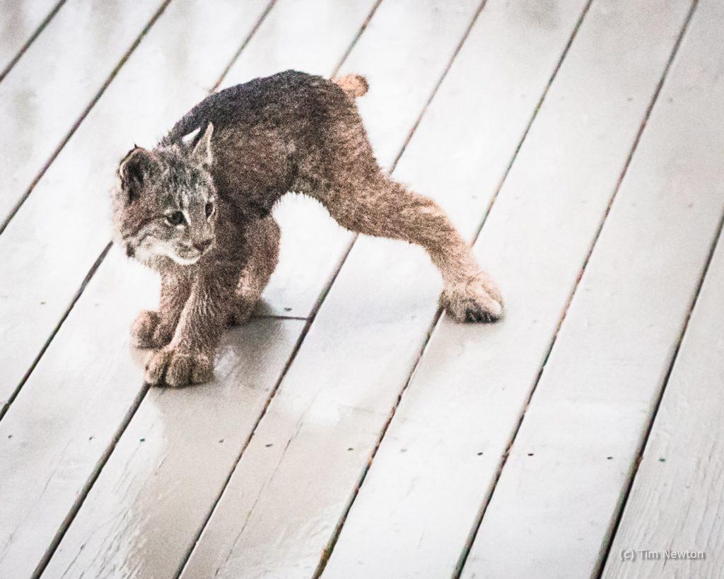 Ninja Lynx Kitty