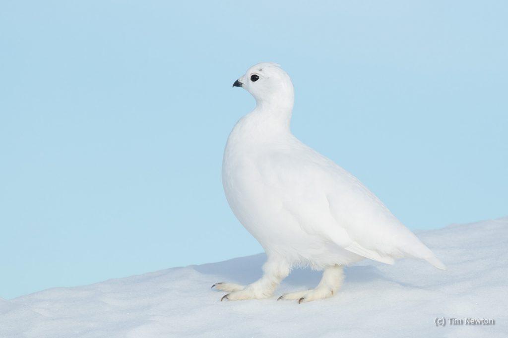Pastel Ptarmigan