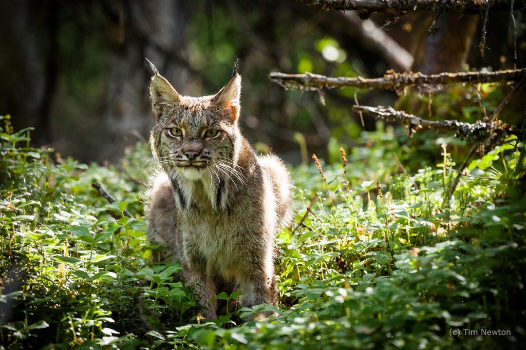 Watchful Mama Lynx