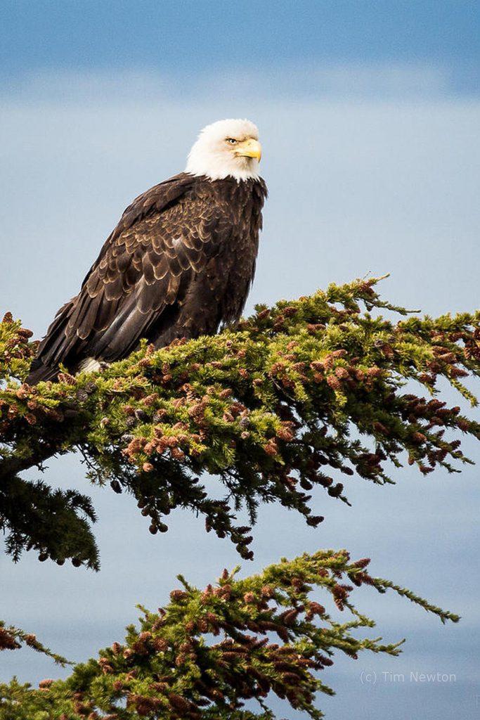 Eagle wildlife